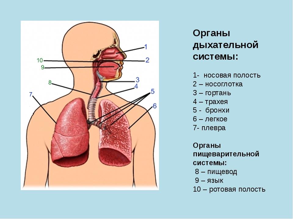 дыхательная система-органы дыхательной системы