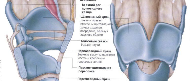 Вид здоровой внутренней полости гортани.4